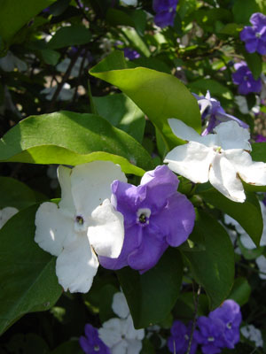 Brunfelsia_Yesterday2300
