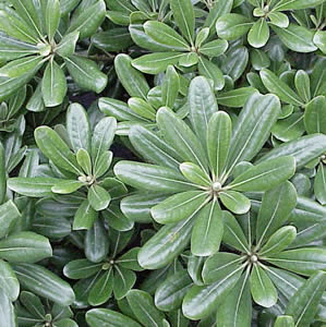 Pittosporum_Green300